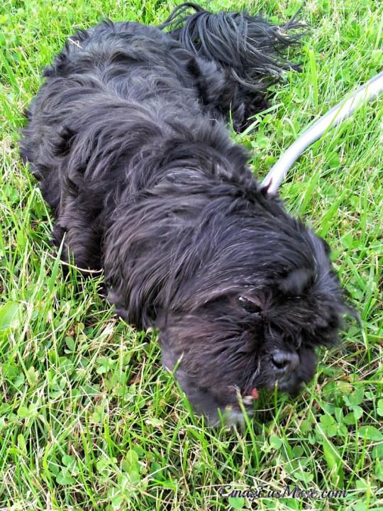 CindyLu eating grass