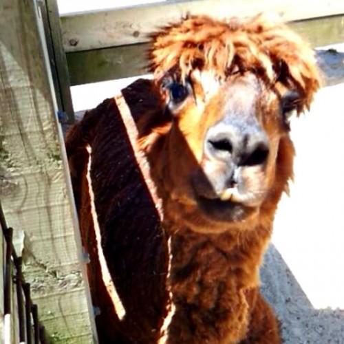 If CindyLu Were An Alpaca